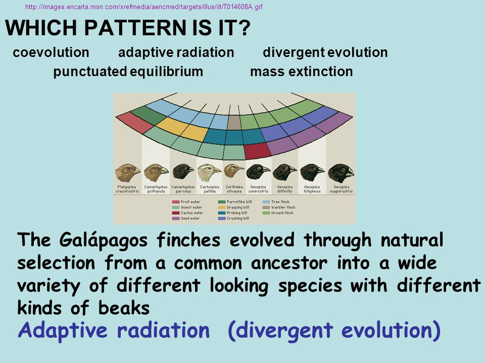 Adaptive radiation (divergent evolution)