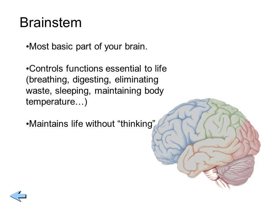 Brainstem Most basic part of your brain.