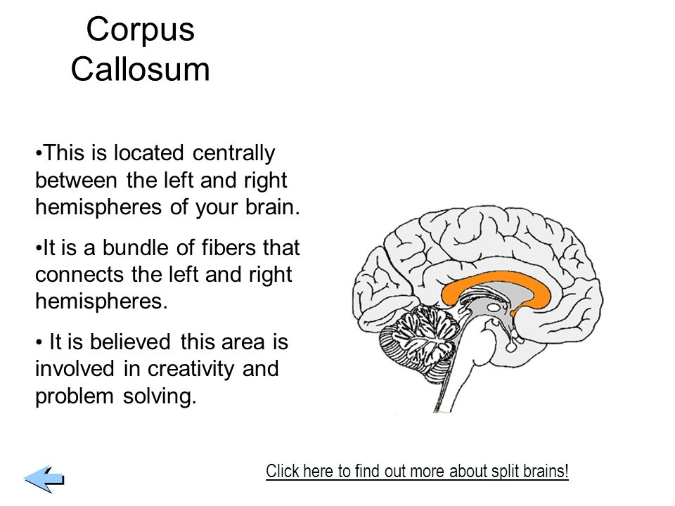 Corpus Callosum This is located centrally between the left and right hemispheres of your brain.