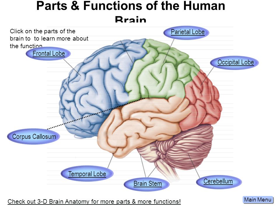 Parts & Functions of the Human Brain