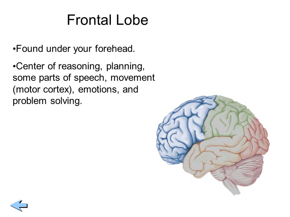 Frontal Lobe Found under your forehead.
