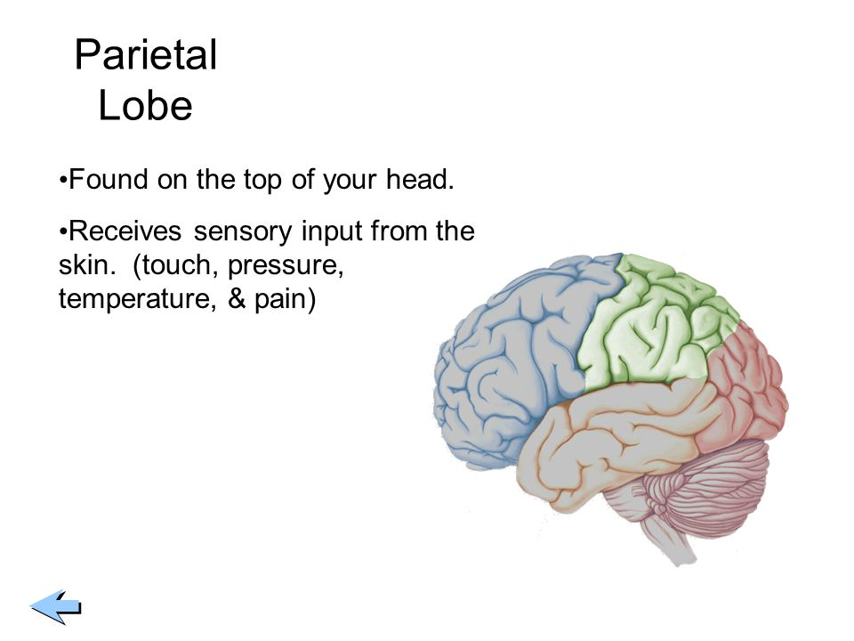 Parietal Lobe Found on the top of your head.