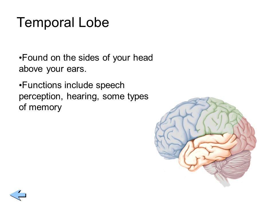 Temporal Lobe Found on the sides of your head above your ears.