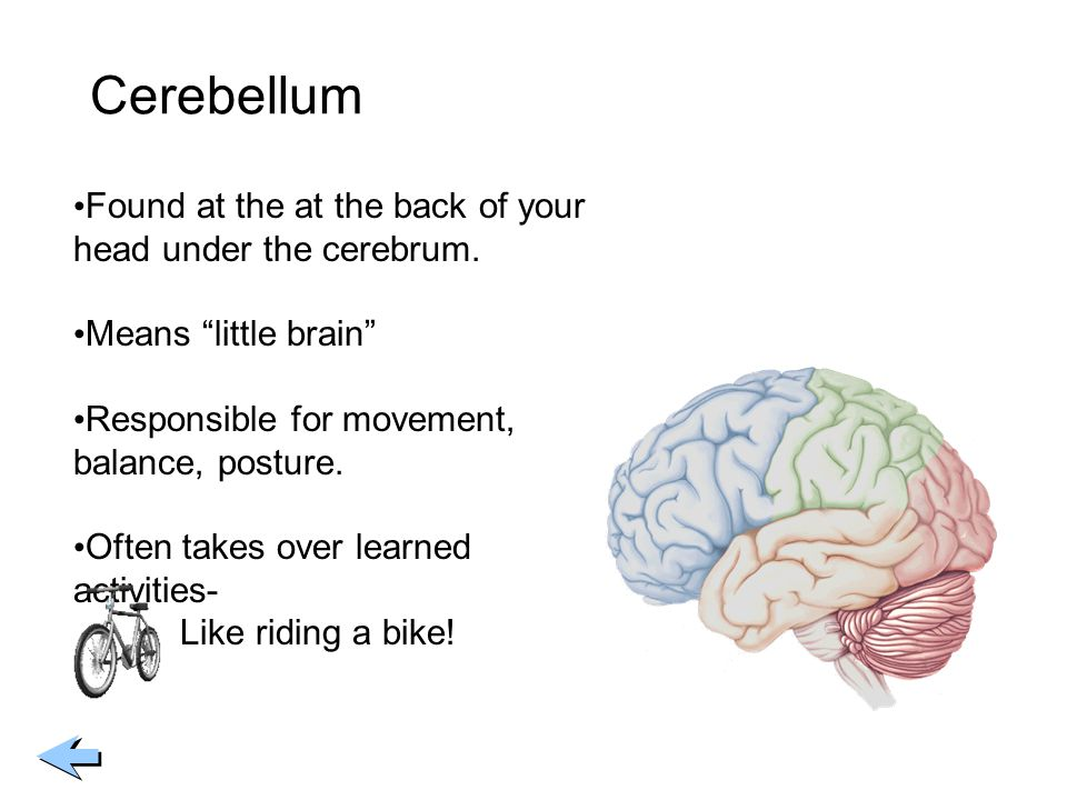 Cerebellum Found at the at the back of your head under the cerebrum.