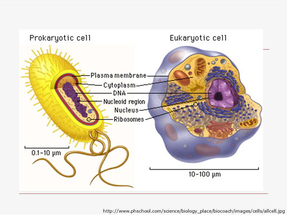 http://www.phschool.com/science/biology_place/biocoach/images/cells/allcell.jpg