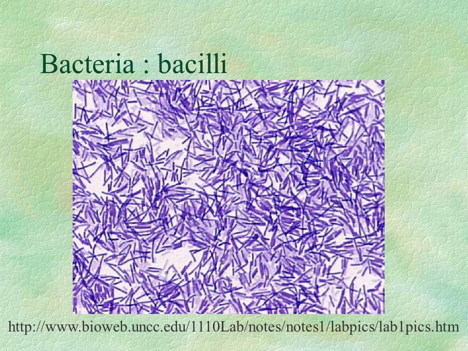 Bacteria : bacilli Streptococcus