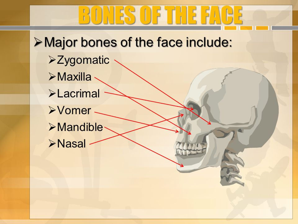 BONES OF THE FACE Major bones of the face include: Zygomatic Maxilla