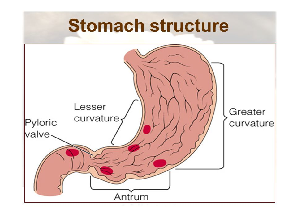 Stomach structure