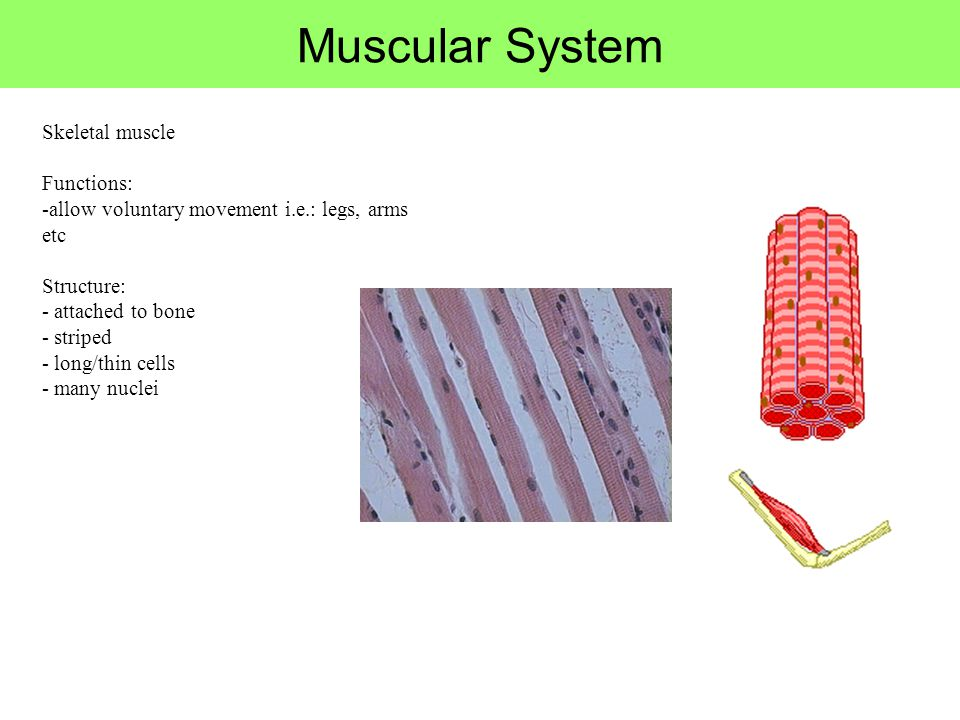 Muscular System Skeletal muscle Functions: