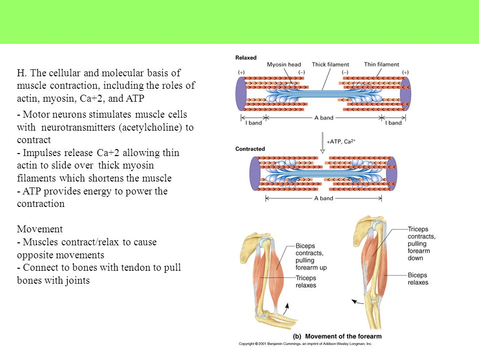 H. The cellular and molecular basis of muscle contraction, including the roles of actin, myosin, Ca+2, and ATP