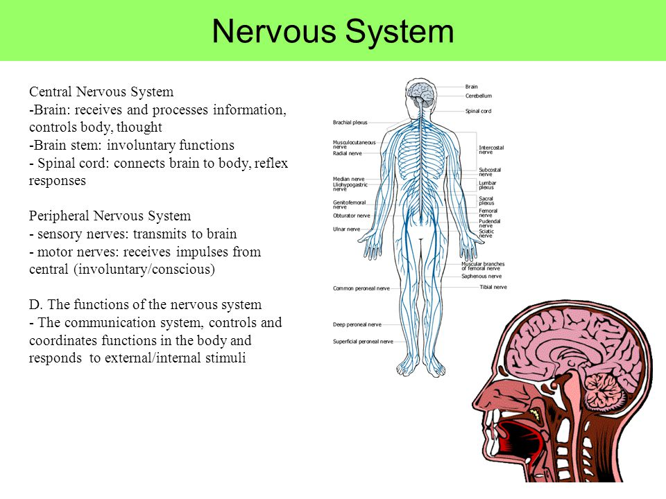 the transmission of sensory information to the central nervous system The transmission of a nerve impulse along a neuron from one end to the other occurs as a result of electrical changes across the membrane of the neuron the membrane of an unstimulated neuron is polarized—that is, there is a difference in electrical charge between the outside and inside of the.