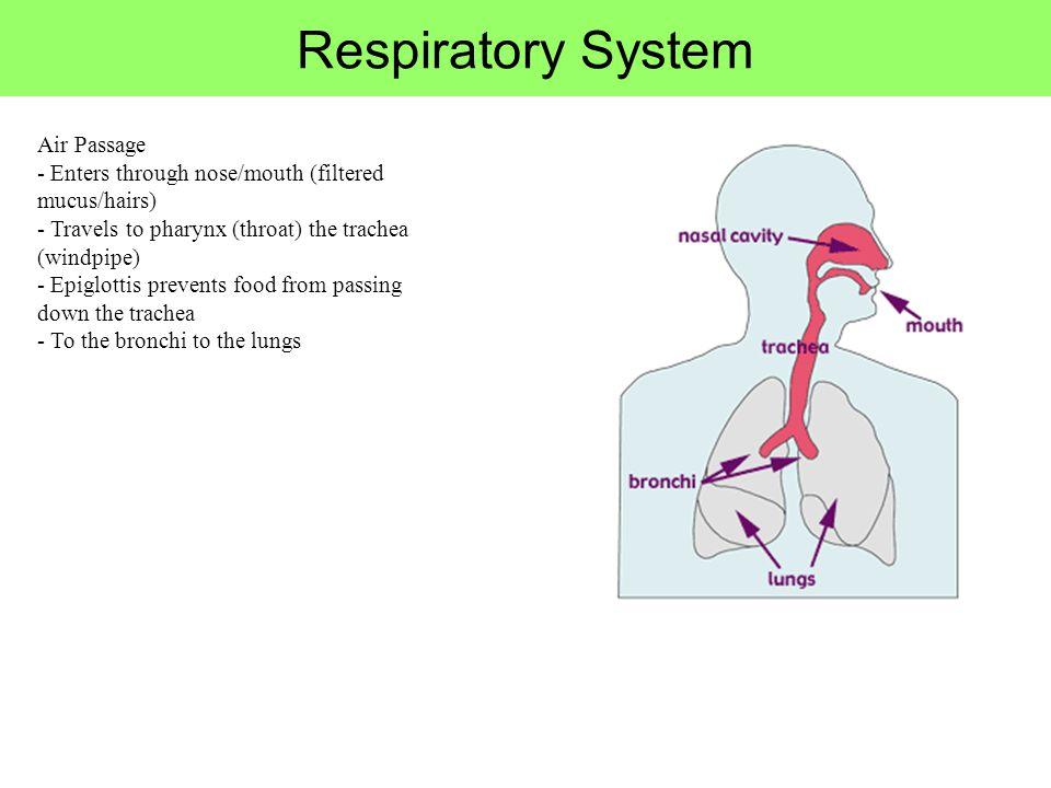 Respiratory System Air Passage