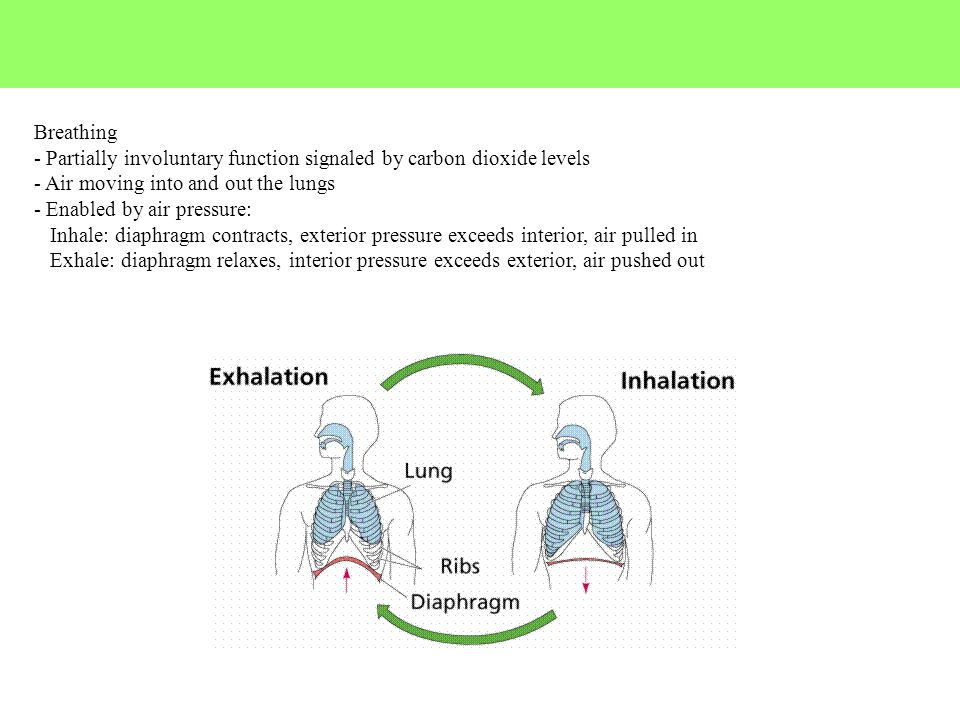 Breathing - Partially involuntary function signaled by carbon dioxide levels. - Air moving into and out the lungs.