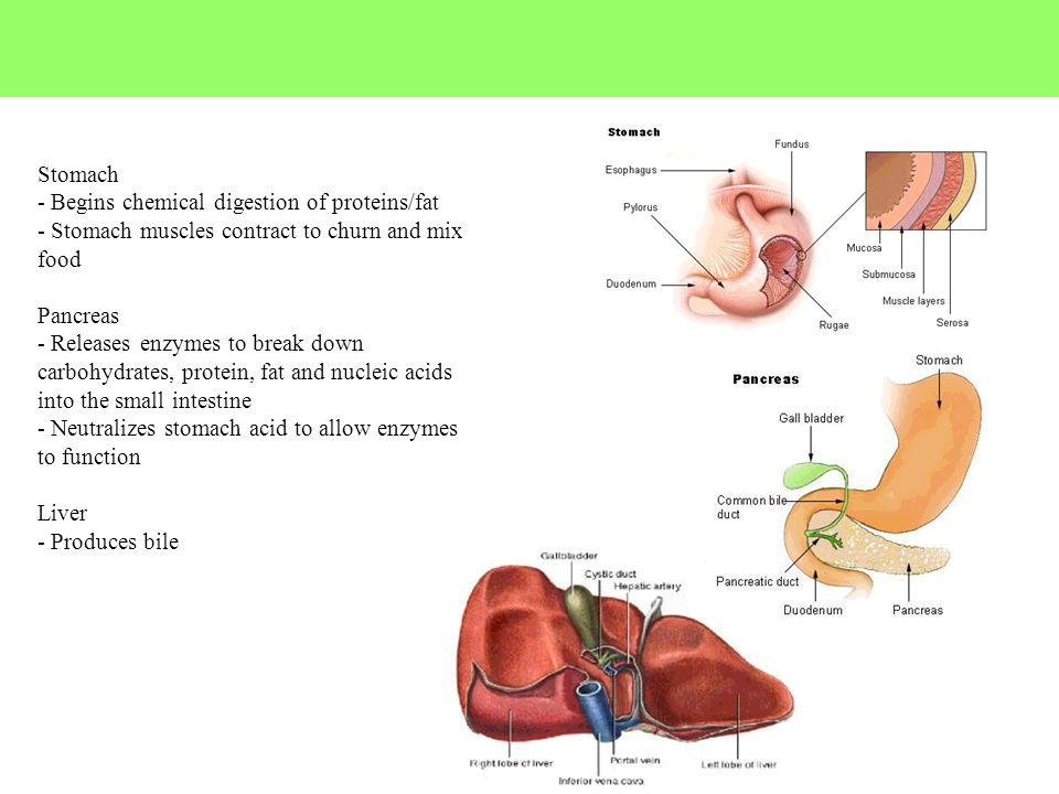 Stomach - Begins chemical digestion of proteins/fat. - Stomach muscles contract to churn and mix food.