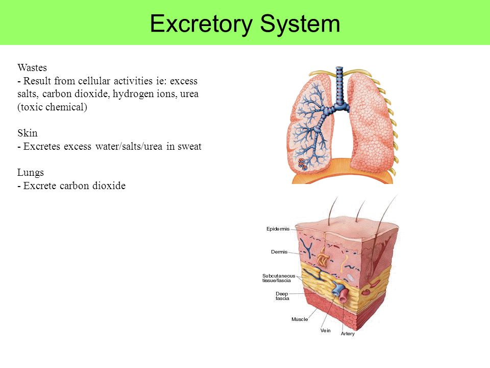 Carbon Dioxide Removal Systems : Human physiology project sijie mao biology ppt download