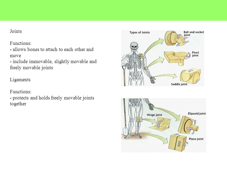 Joints Functions: - allows bones to attach to each other and move. - include immovable, slightly movable and freely movable joints.