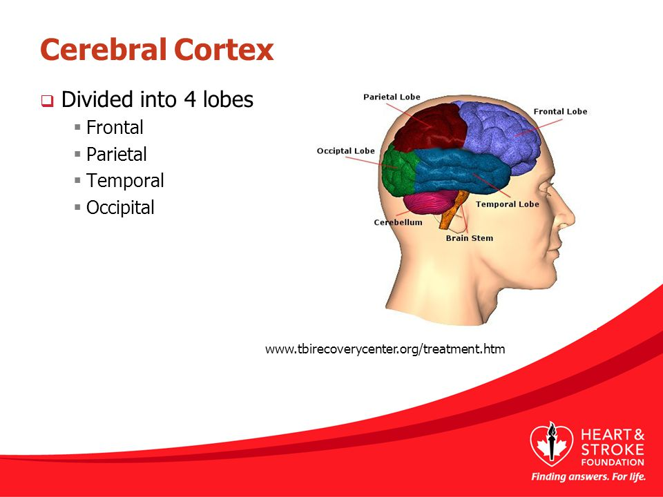 Cerebral Cortex Divided into 4 lobes Frontal Parietal Temporal