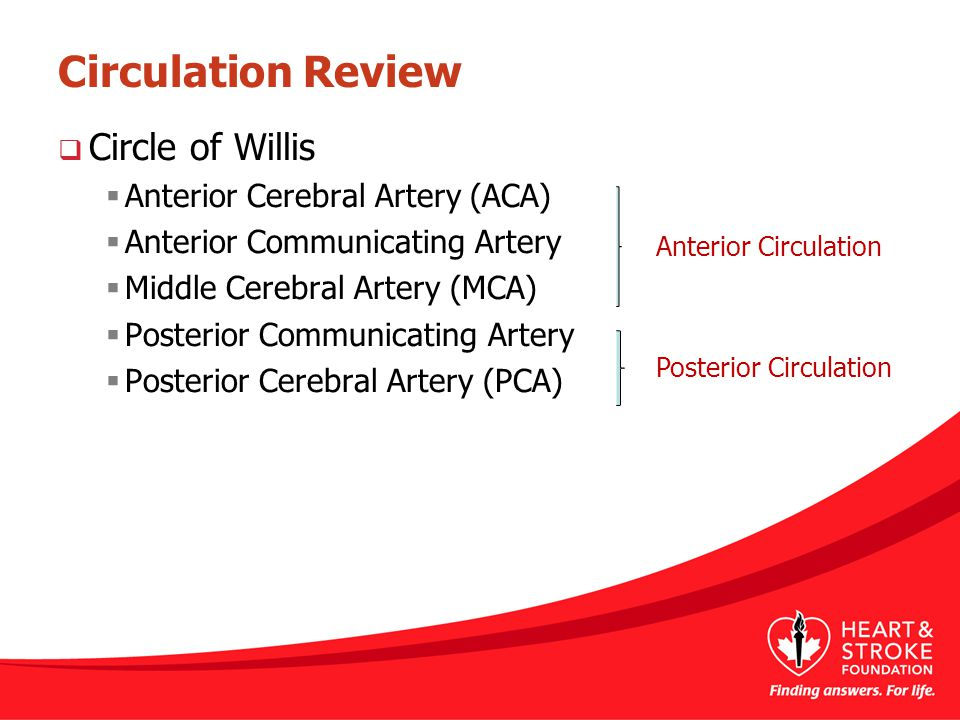 Circulation Review Circle of Willis Anterior Cerebral Artery (ACA)