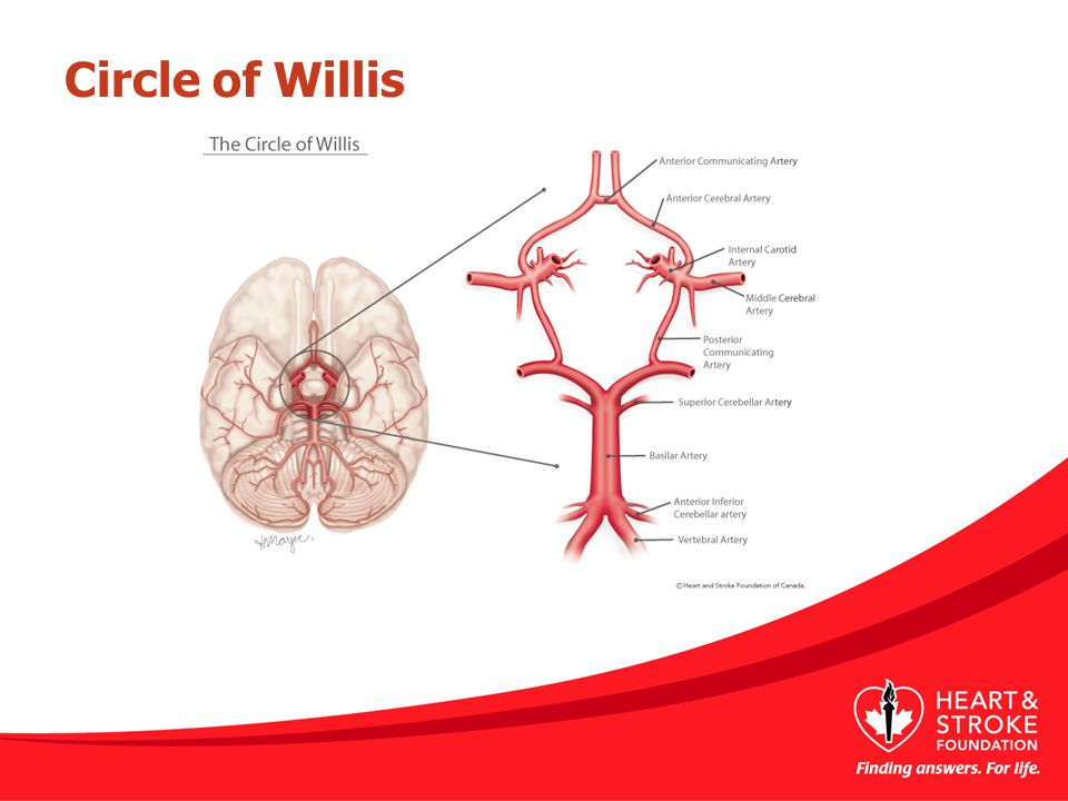 Circle of Willis This is a picture of the Circle of Willis.