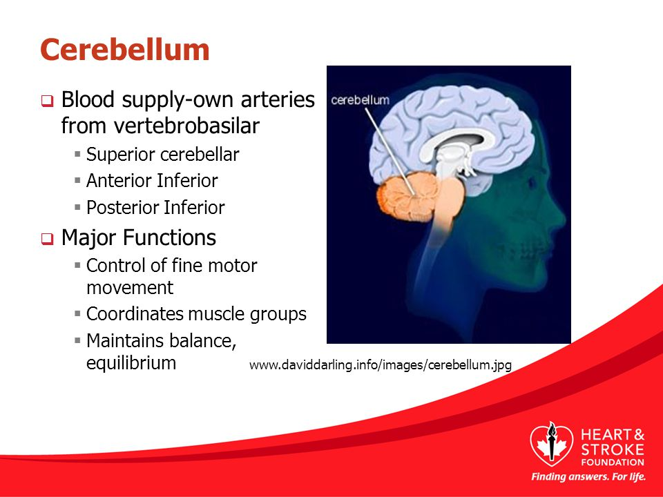 Cerebellum Blood supply-own arteries from vertebrobasilar