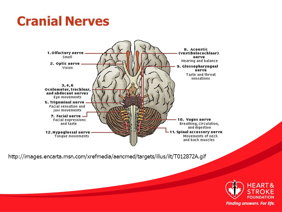 Cranial Nerves This slide demonstrates the location and functions of the cranial nerves.