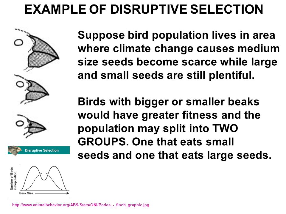 EXAMPLE OF DISRUPTIVE SELECTION