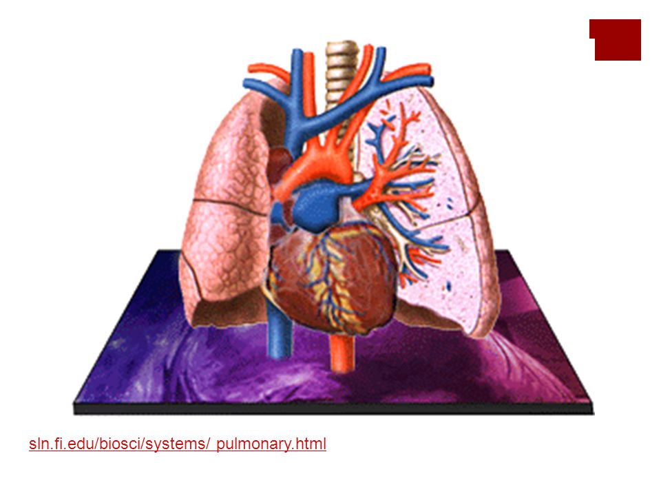 sln.fi.edu/biosci/systems/ pulmonary.html