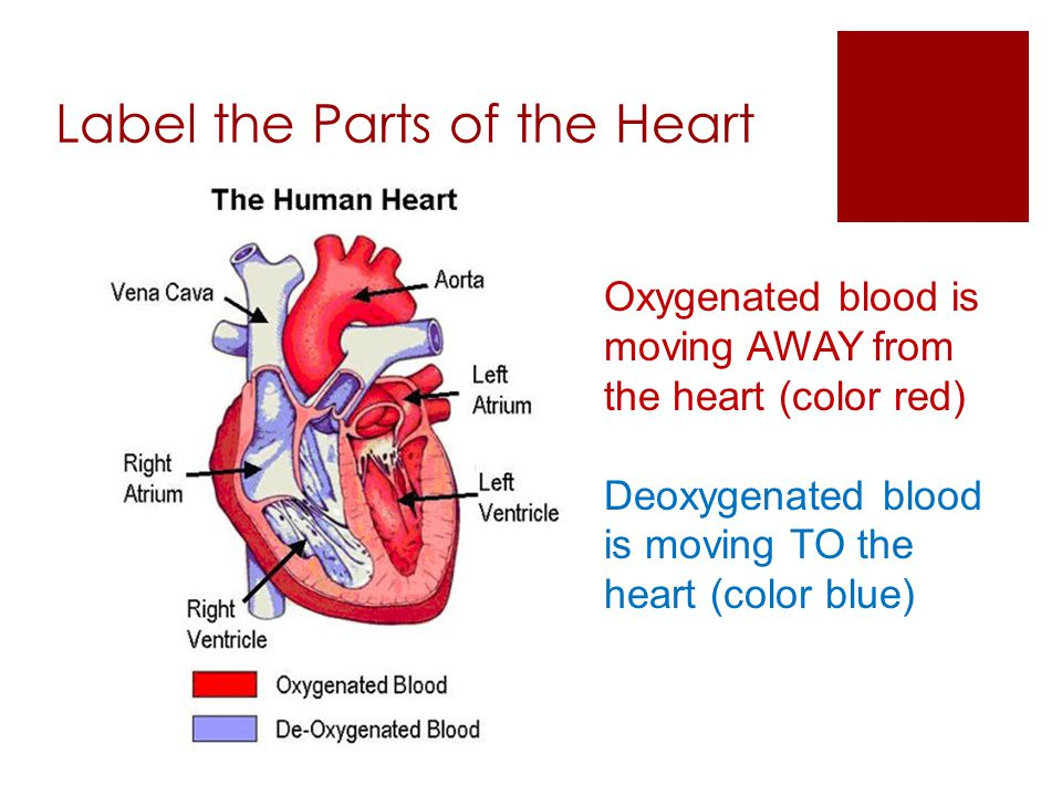 Label the Parts of the Heart
