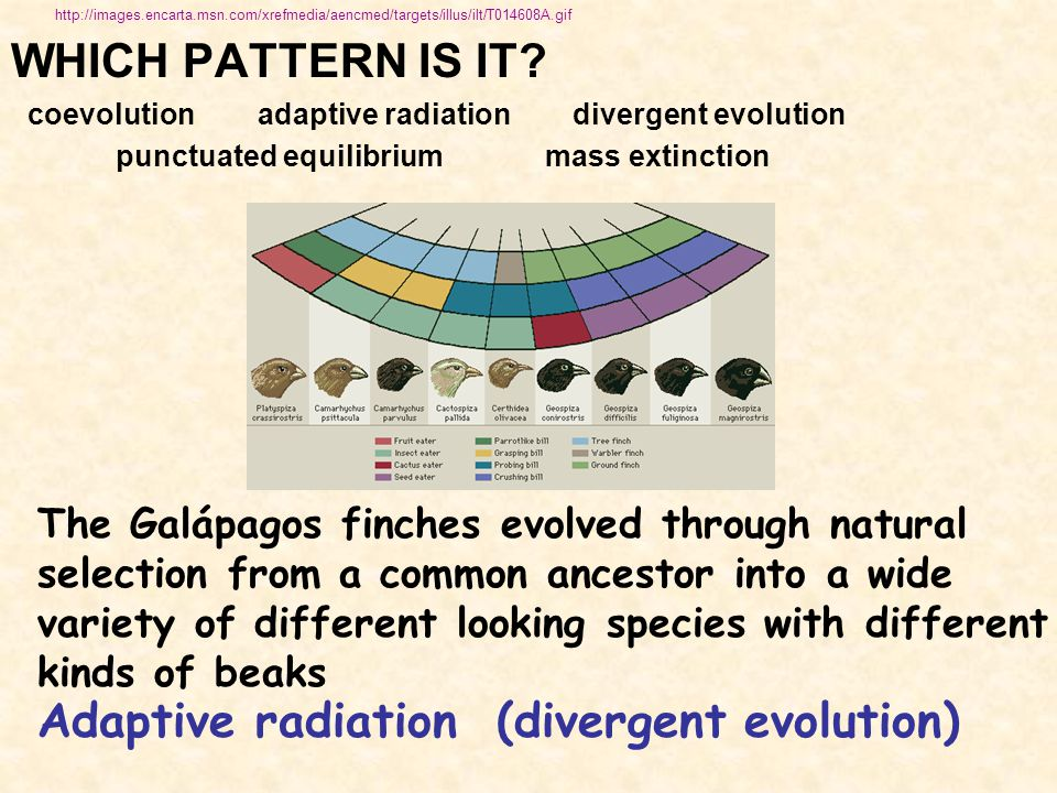 Adaptive radiation (divergent evolution)