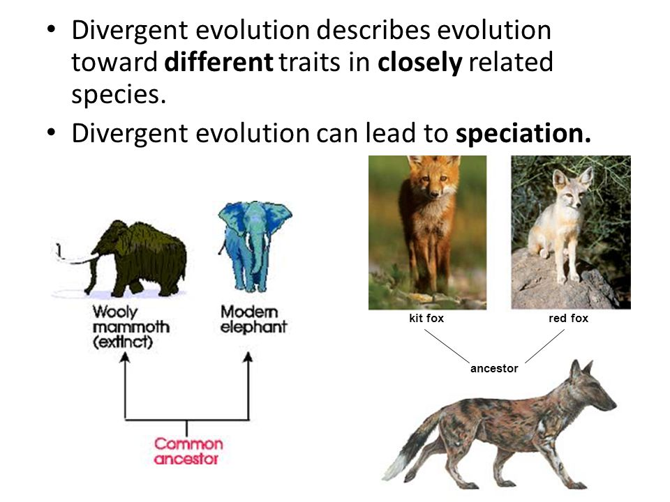 Divergent evolution can lead to speciation.