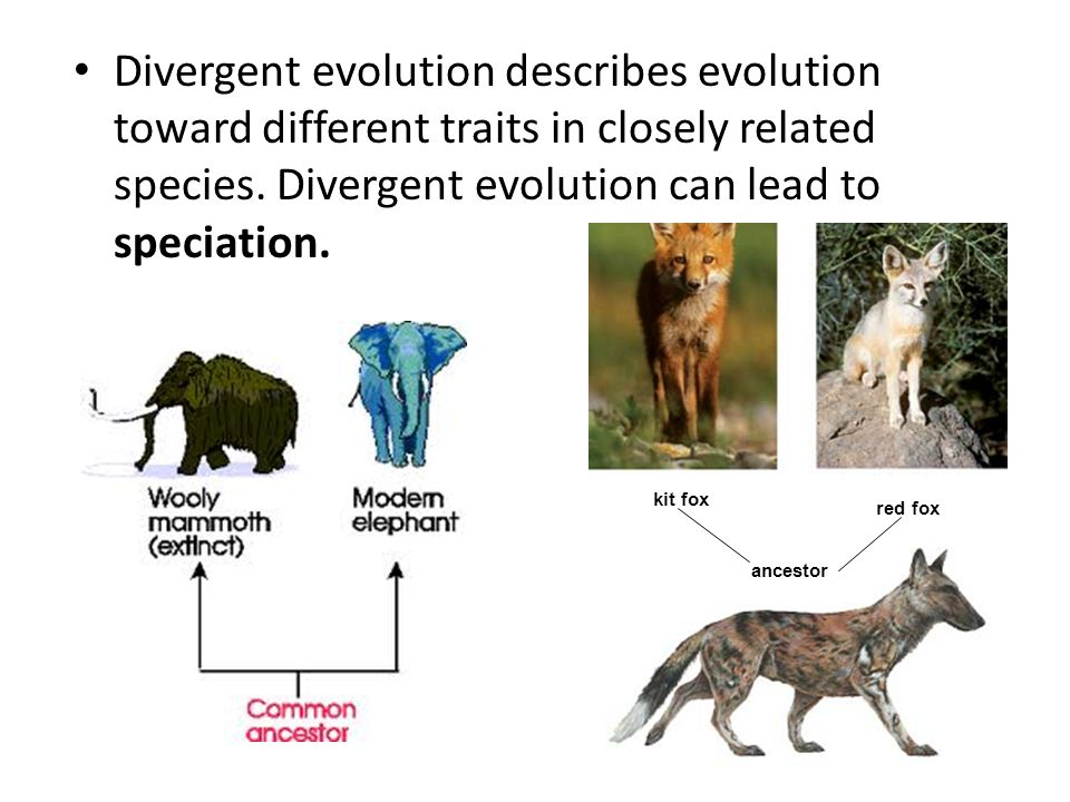 Divergent evolution describes evolution toward different traits in closely related species. Divergent evolution can lead to speciation.