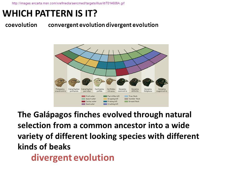WHICH PATTERN IS IT divergent evolution