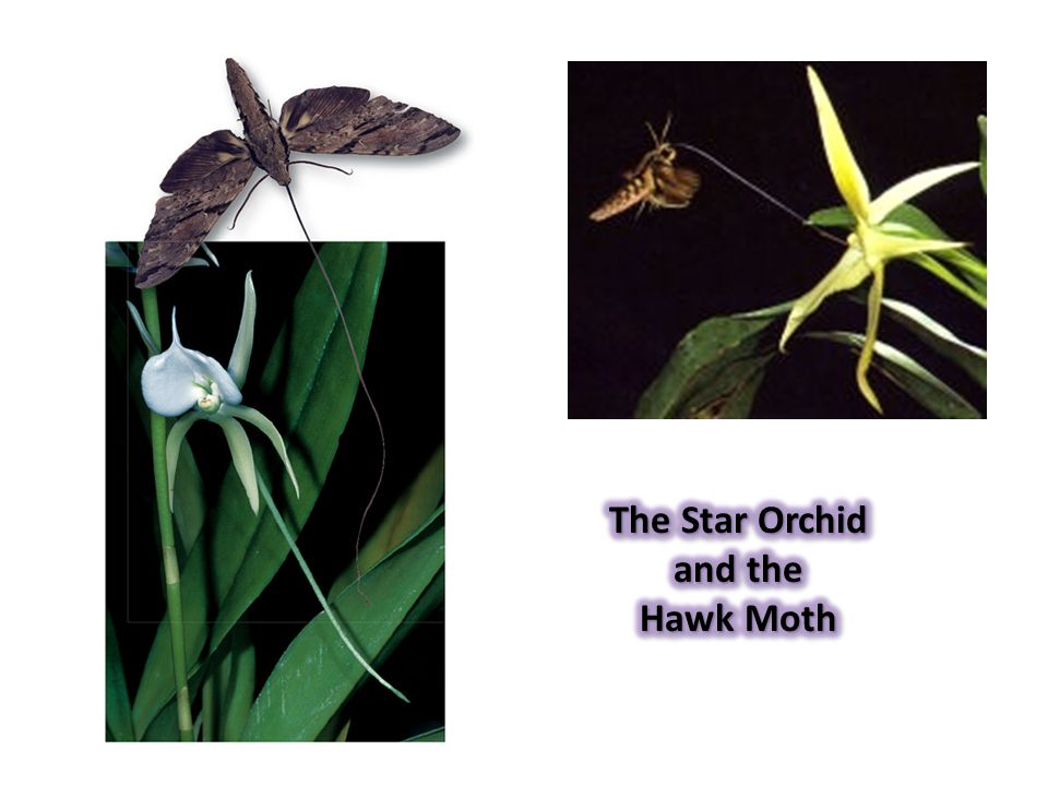 The Star Orchid and the Hawk Moth
