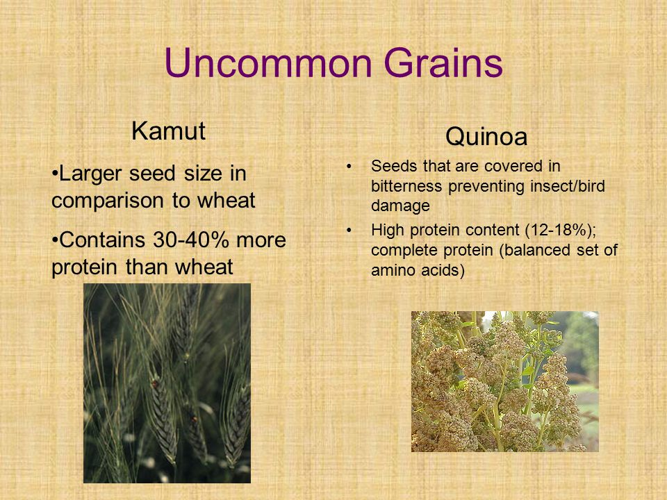 Uncommon Grains Quinoa Kamut Larger seed size in comparison to wheat