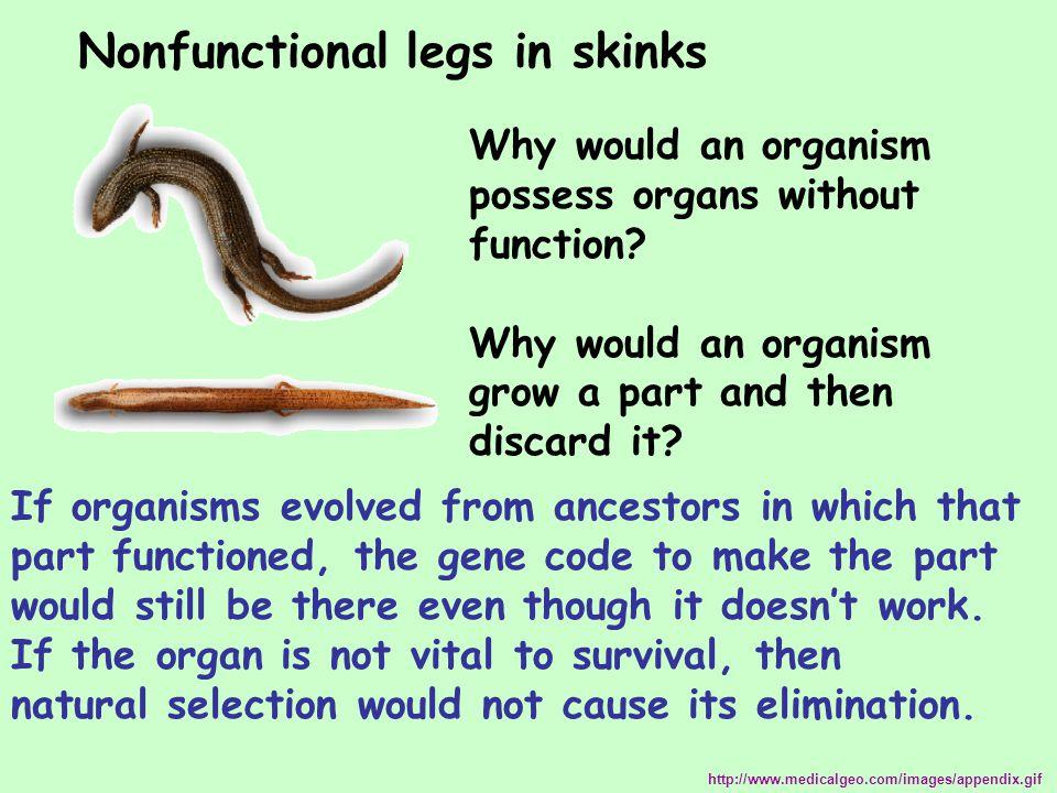Nonfunctional legs in skinks