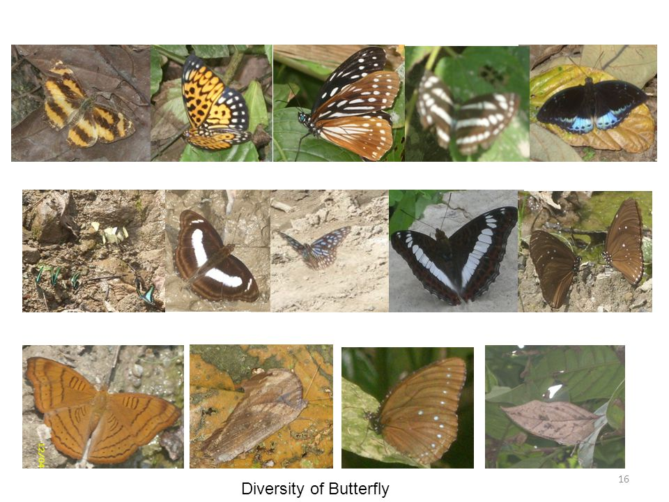 Diversity of Butterfly