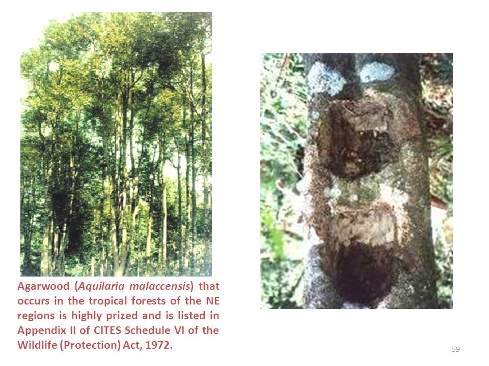 Agarwood (Aquilaria malaccensis) that occurs in the tropical forests of the NE regions is highly prized and is listed in Appendix II of CITES Schedule VI of the Wildlife (Protection) Act, 1972.