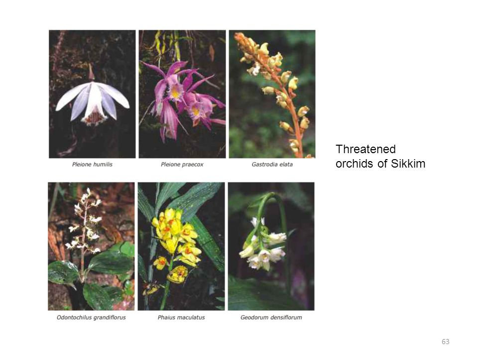 Threatened orchids of Sikkim