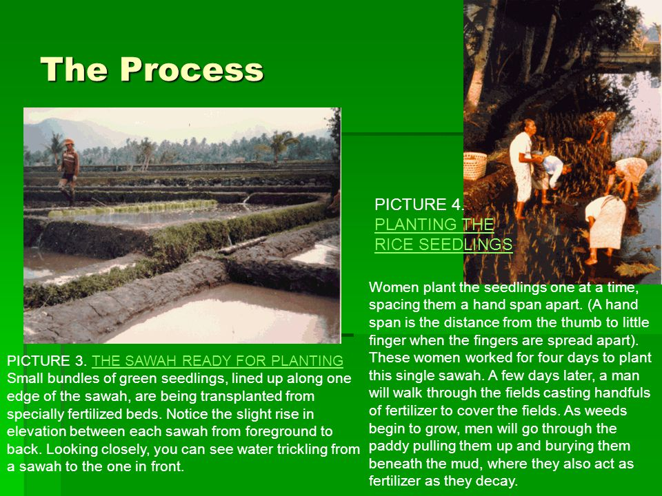 The Process PICTURE 4. PLANTING THE RICE SEEDLINGS