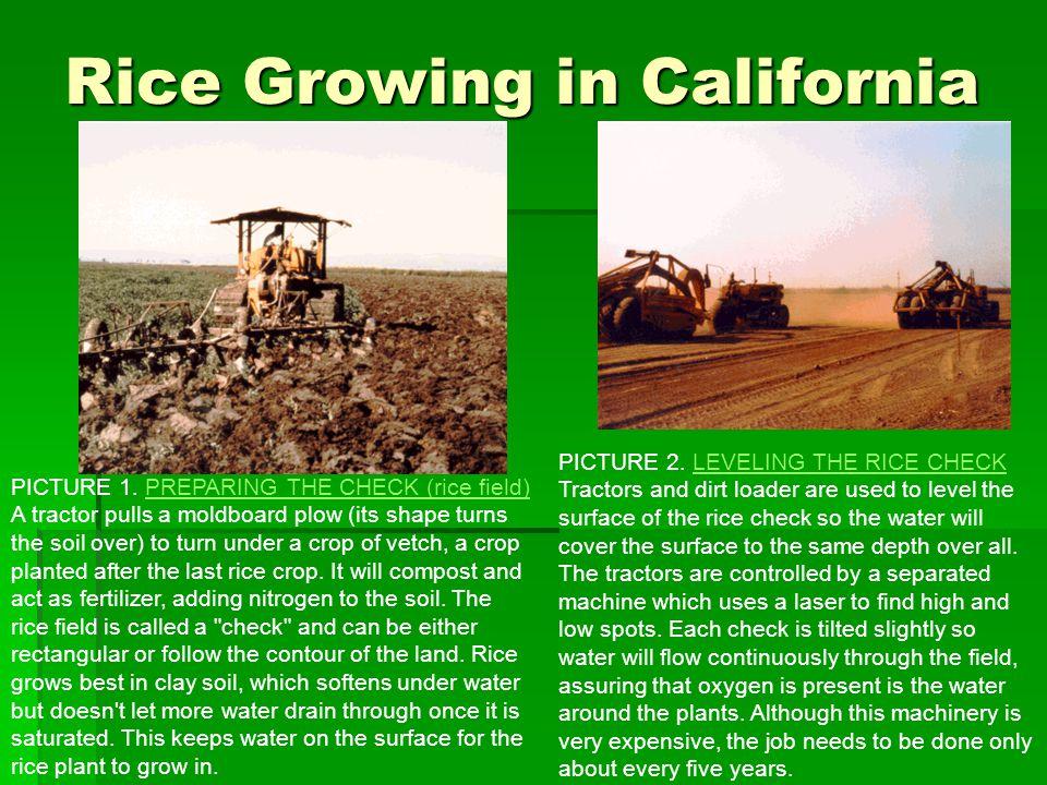 Rice Growing in California