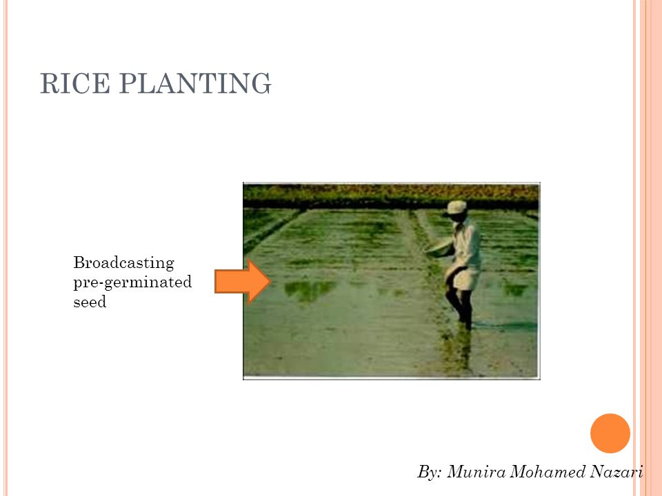 RICE PLANTING Broadcasting pre-germinated seed