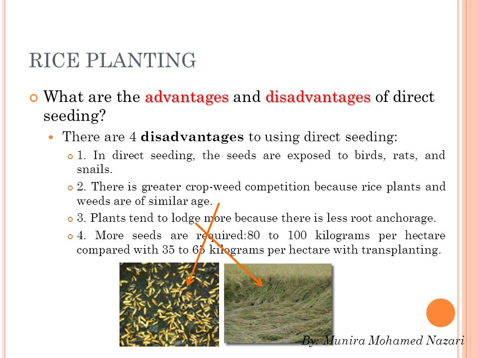 RICE PLANTING What are the advantages and disadvantages of direct seeding There are 4 disadvantages to using direct seeding: