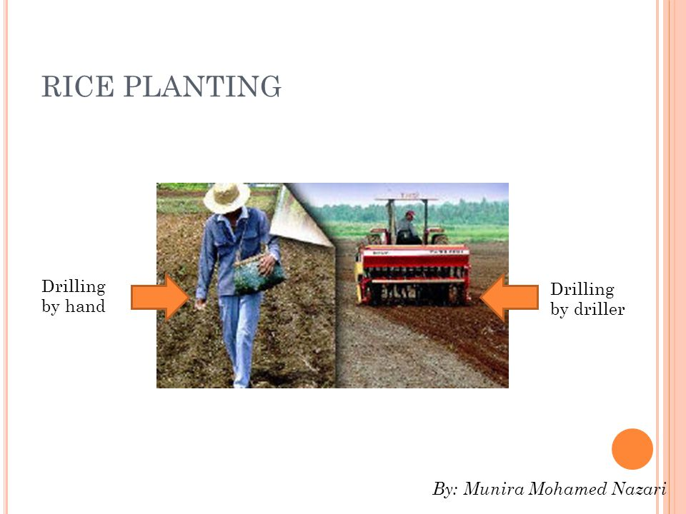 RICE PLANTING Drilling by hand Drilling by driller