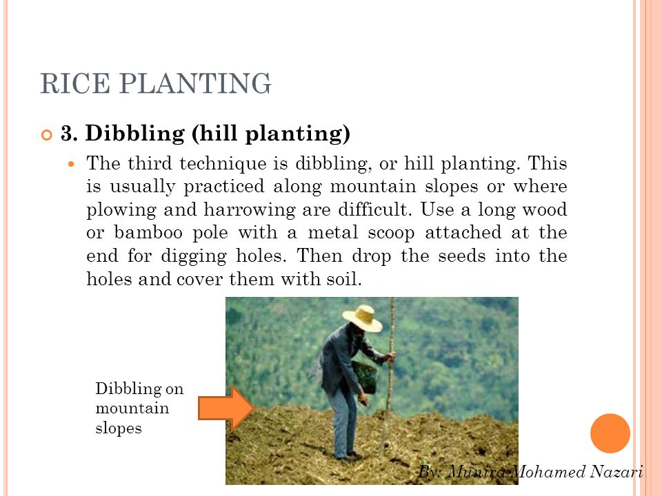 RICE PLANTING 3. Dibbling (hill planting)