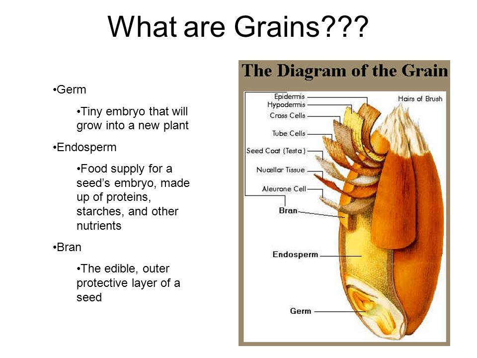 What are Grains Germ Tiny embryo that will grow into a new plant