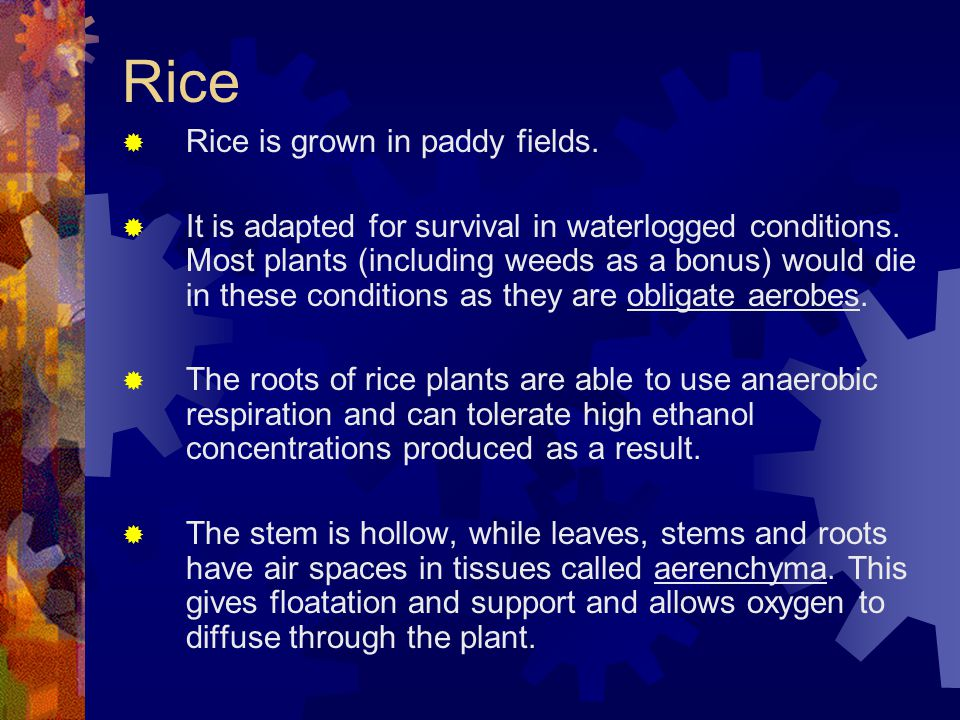 Rice Rice is grown in paddy fields.