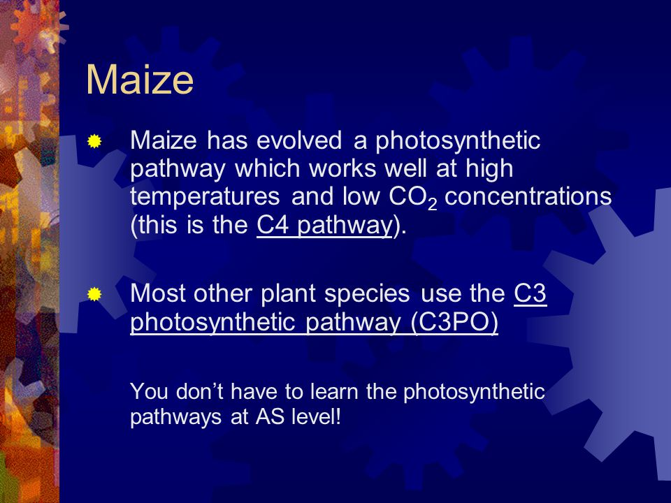Maize Maize has evolved a photosynthetic pathway which works well at high temperatures and low CO2 concentrations (this is the C4 pathway).