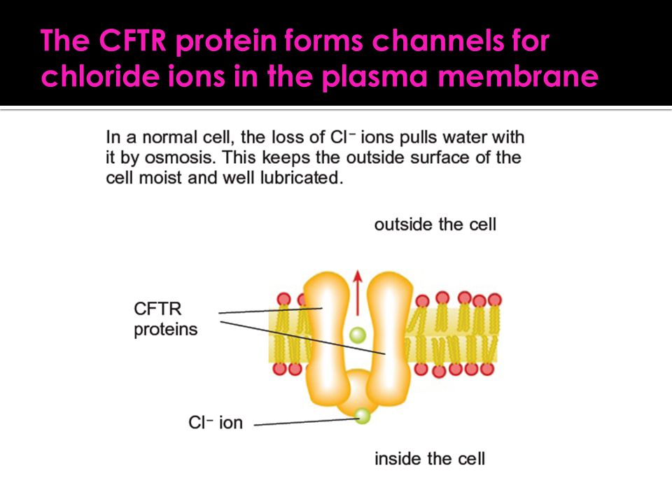 The CFTR protein forms channels for chloride ions in the plasma membrane
