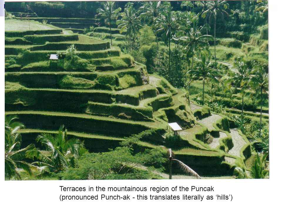 Terraces in the mountainous region of the Puncak (pronounced Punch-ak - this translates literally as 'hills')