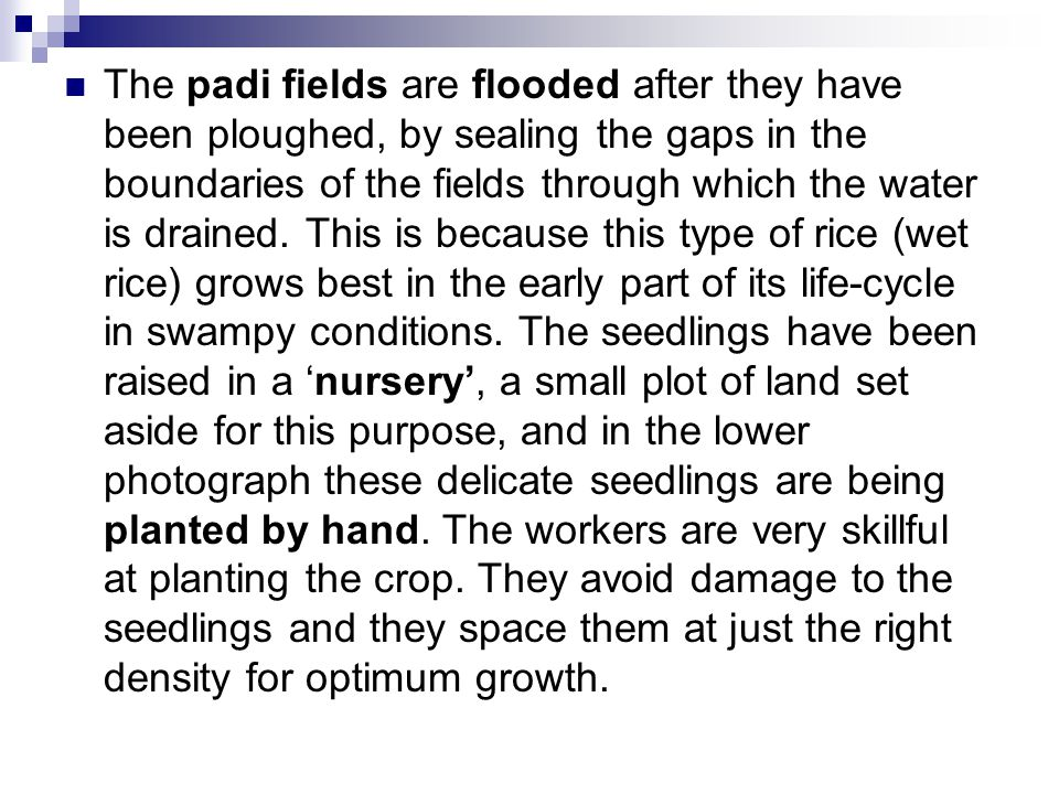 The padi fields are flooded after they have been ploughed, by sealing the gaps in the boundaries of the fields through which the water is drained.